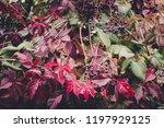 virginia creeper plant | Shutterstock . vector #1197929125