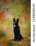 black german shepherd dog lays... | Shutterstock . vector #1198008145