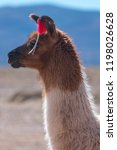 decorated bolivian llama in the ... | Shutterstock . vector #1198026628