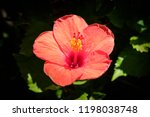 red hibiscus flower isolated  ... | Shutterstock . vector #1198038748