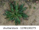 garden hoe with weed in ground... | Shutterstock . vector #1198130275