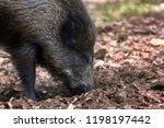 wild boar  sus scrofa  digs... | Shutterstock . vector #1198197442