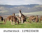 Small photo of Kangaroo mob closeup with hills background. Aldinga Scrub Conservation Park, South Australia.