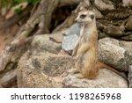 meerkat   suricata suricatta is ...   Shutterstock . vector #1198265968
