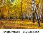 beautiful autumn birch grove on ... | Shutterstock . vector #1198386355