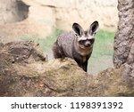 bat eared fox closeup front view | Shutterstock . vector #1198391392