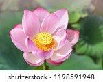 Close Up Pink Sacred Lotus...