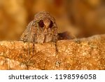 Portrait Head Of Clothes Moth....
