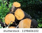 pile of tree trunks cut in... | Shutterstock . vector #1198606102