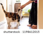 Stock photo young woman holding meat treat with hand teaching training standing calico cat sniffing tricks 1198612015