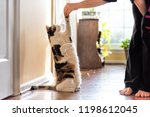 One Calico Cat Standing Up On...