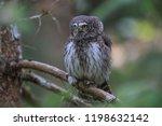 eurasian pygmy owl swabian jura ...   Shutterstock . vector #1198632142