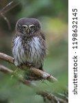 eurasian pygmy owl swabian jura ...   Shutterstock . vector #1198632145