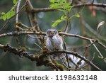 eurasian pygmy owl swabian jura ...   Shutterstock . vector #1198632148