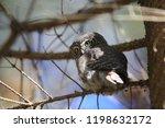 eurasian pygmy owl swabian jura ...   Shutterstock . vector #1198632172