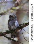 eurasian pygmy owl swabian jura ...   Shutterstock . vector #1198632175