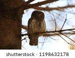 eurasian pygmy owl swabian jura ...   Shutterstock . vector #1198632178