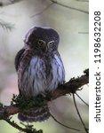 eurasian pygmy owl swabian jura ...   Shutterstock . vector #1198632208