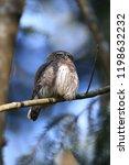 eurasian pygmy owl swabian jura ...   Shutterstock . vector #1198632232