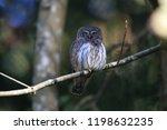 eurasian pygmy owl swabian jura ...   Shutterstock . vector #1198632235
