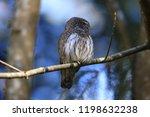 eurasian pygmy owl swabian jura ...   Shutterstock . vector #1198632238