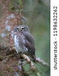 eurasian pygmy owl swabian jura ...   Shutterstock . vector #1198632262