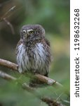 eurasian pygmy owl swabian jura ...   Shutterstock . vector #1198632268