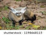 bat eared fox | Shutterstock . vector #1198668115