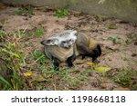 bat eared fox | Shutterstock . vector #1198668118