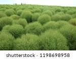 kochia in seaside park | Shutterstock . vector #1198698958