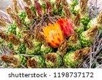 Close Up Of A Barrel Cactus...