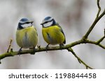 Two Eurasian Blue Tit ...