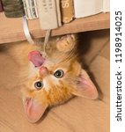 Small photo of Playful ginger kitten with pink tongue. Domestic cat 8 weeks old. Felis silvestris catus. Small tabby kitty lying on back under bookcase. Tiny roguish pet playing with a bound bookmarks. Eye contact.