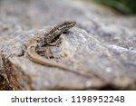 close up of lizard in process... | Shutterstock . vector #1198952248