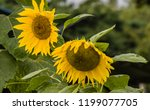 closeup of two large sunflowers ... | Shutterstock . vector #1199077705