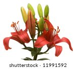 beautiful asiatic lily bloom on ... | Shutterstock . vector #11991592