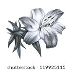 pencil drawing lily in a white ... | Shutterstock . vector #119925115