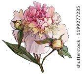 gentle peony illustration  pink ...   Shutterstock . vector #1199277235