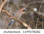 eurasian jay  garrulus...   Shutterstock . vector #1199278282