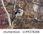 eurasian jay  garrulus...   Shutterstock . vector #1199278288