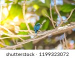 bird  collared kingfisher ... | Shutterstock . vector #1199323072