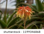 close view of an aloe plant... | Shutterstock . vector #1199346868