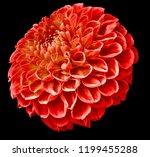 Red Dahlia Flower On The Black...