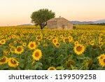 a field of sunflowers surround... | Shutterstock . vector #1199509258