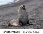 antarctic fur seal  deception... | Shutterstock . vector #1199576368