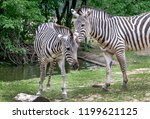 pair of zebra nuzzle each other ... | Shutterstock . vector #1199621125