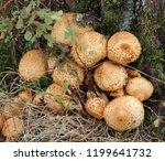 cluster of shaggy scalycap... | Shutterstock . vector #1199641732