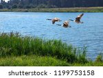 wild geese soar and fly over... | Shutterstock . vector #1199753158