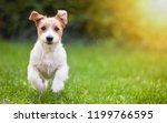 Stock photo happy jack russell pet dog puppy running in the grass background banner with copy space 1199766595