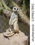 suricata standing on a guard ...   Shutterstock . vector #1199817892